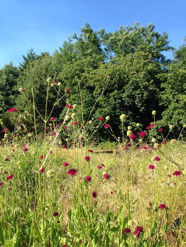 Knautia flowers and seed heads make a beautiful, light display at VanDusen Botanical Garden