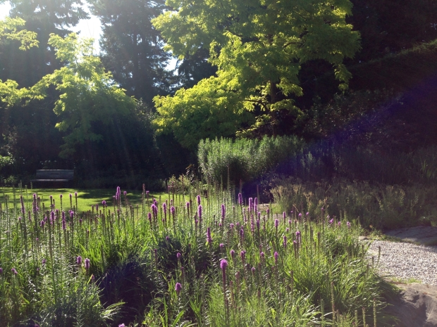 Liatris en masse looks stunning in the evening light at VanDusen Botanical Garden