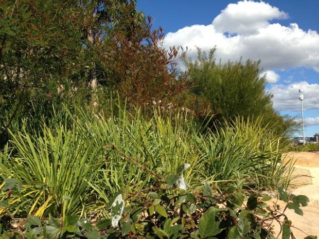 Mix of plant textures at Barangaroo Reserve