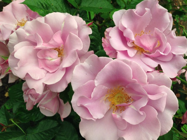 Roses at Government House, British Columbia. Janna Schreier