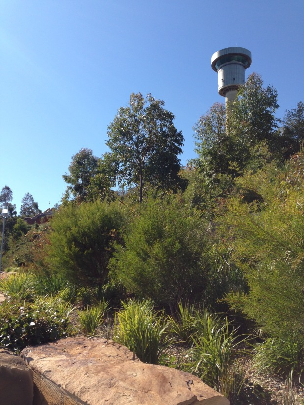 Sun loving Acacia at Barangaroo Reserve