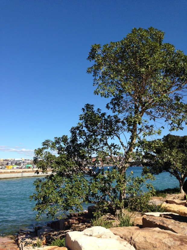 Tranplanted fig at Barangaroo Reserve