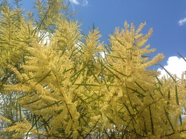Acacia at Muogamarra Nature Reserve