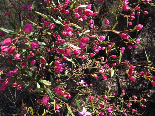 Bright pop of Boronia ledifolia