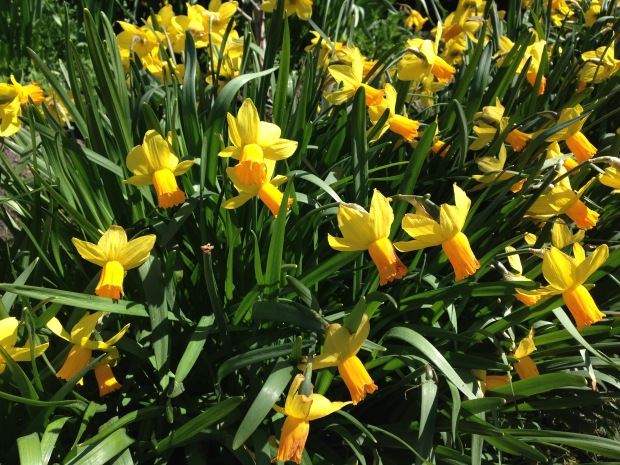 Daffodils at Rydal