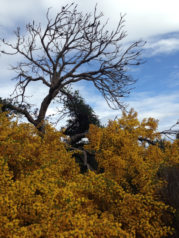 Glorious Acacia in Bold Park, Perth