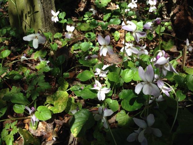 Gorgeous violets in Rosie's garden