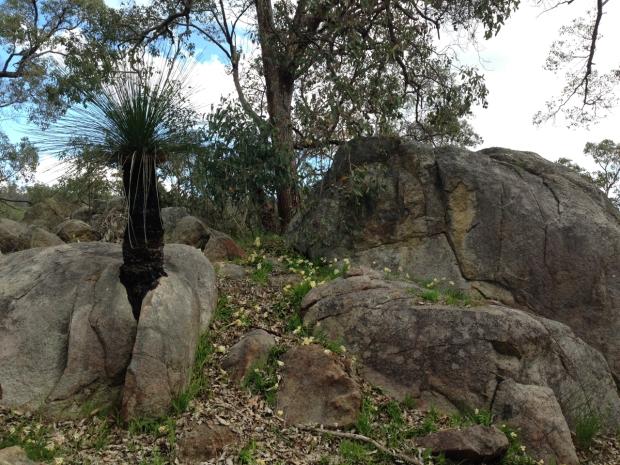 Grass tree growing through a rock in Mundaring