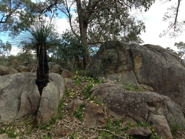 Grass tree growing through a rock in Mundaring