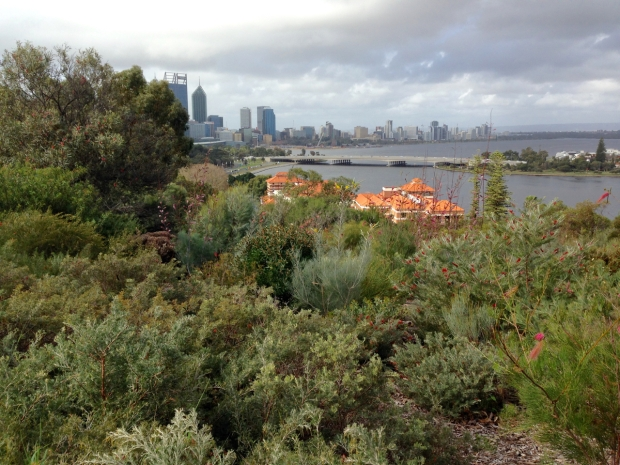 Grevillea heaven overlooking the Swan River
