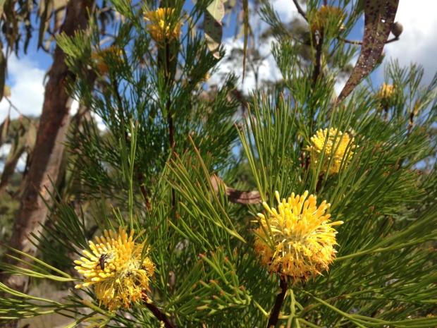 Isopogon anethifolius in Muogamarra Nature Reserve