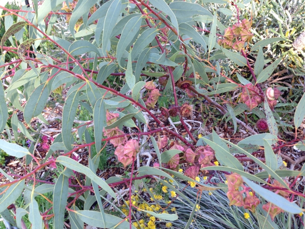 Love the pink stems of some gum trees