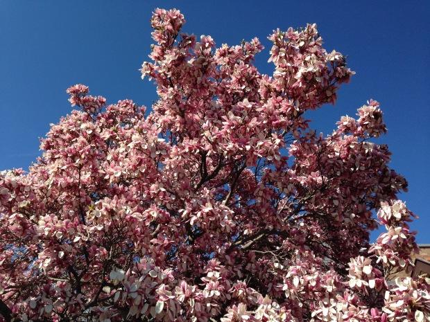 Magnolia blossoms, near Rydal