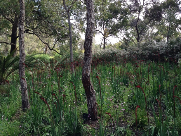 Meadow of Kangaroo Paws in Kings Park