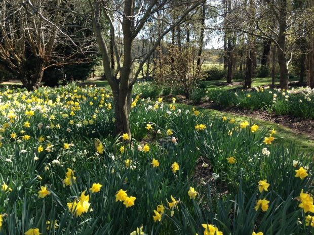 Mixed dafodills and jonquils at Chapel House, Rydal