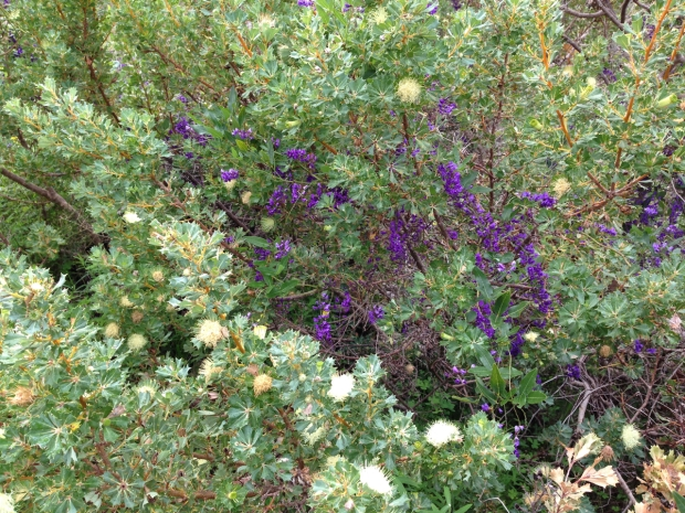 Natural colour combination of Hardenbergia and Banksia sessilis in Bold Park