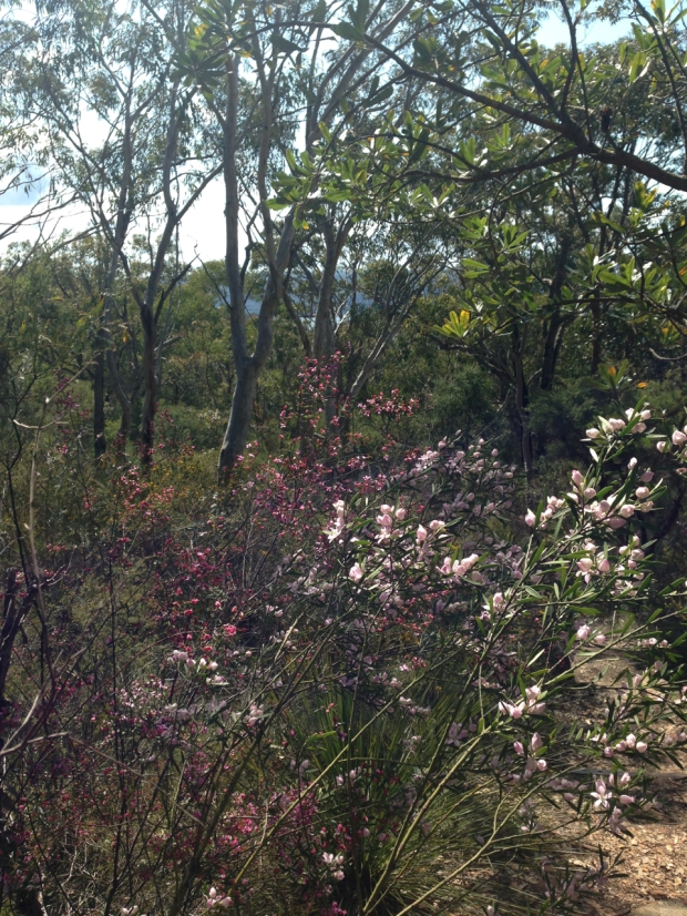 Philotheca australasius and Boronia ledifolia at Muogamarra Nature Reserve