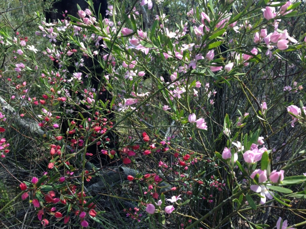 Philotheca australasius and Boronia ledifolia make a stunning combination