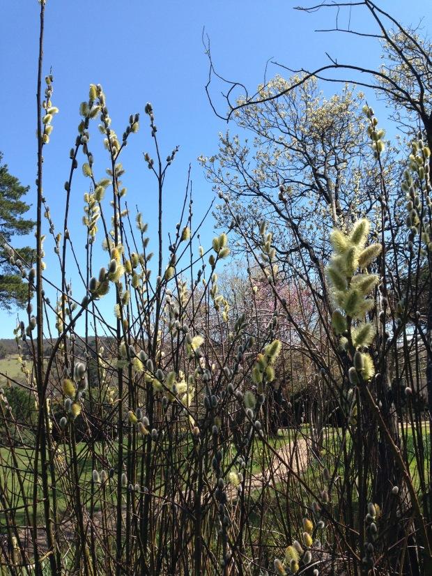 Stunning, furry buds of Salix caprea