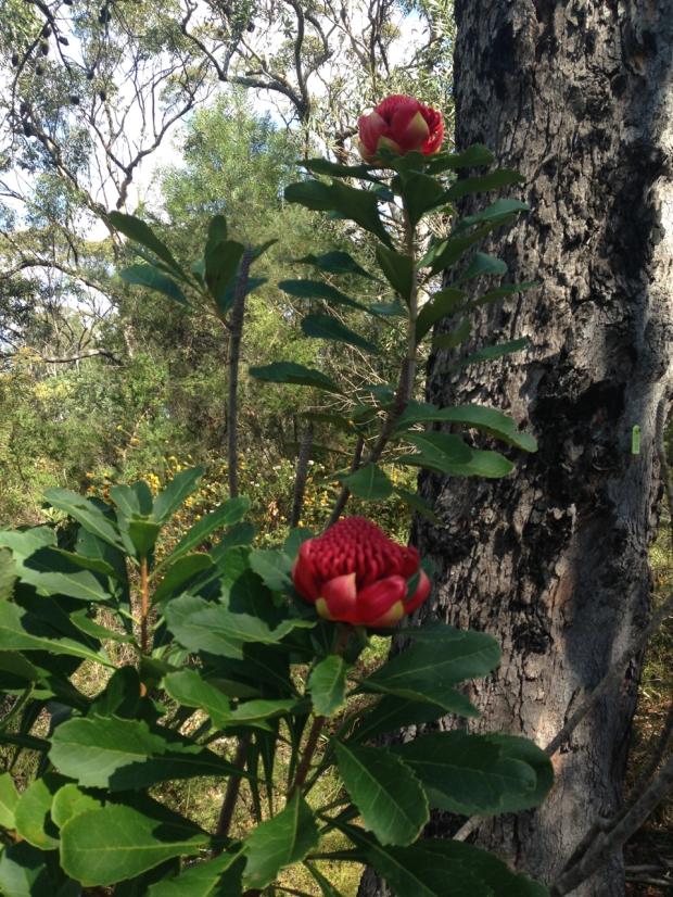 Telopea in Muogamarra Nature Reserve