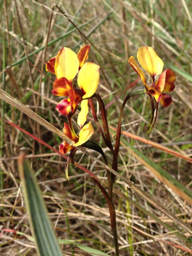 Winter donkey orchids (Diuris brumalis) in Bold Park