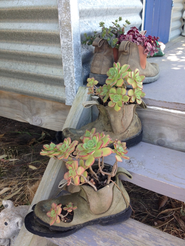 Cute, booted succulents at Boat's End!