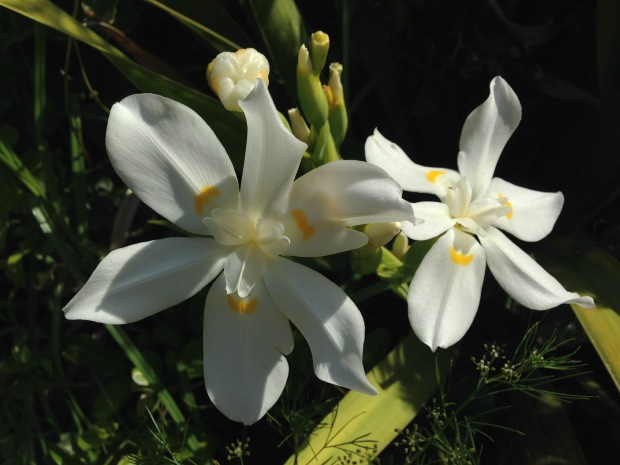 Dietes robinsoniana; a much bigger flower than the Dietes that we grow in Sydney (that's actually from South Africa!)