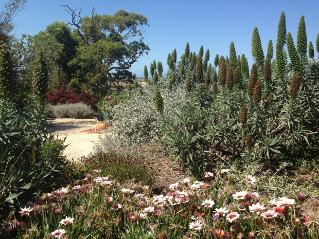 Echium (Pride of Madeira) are repeated extensively through the garden, like a signature plant