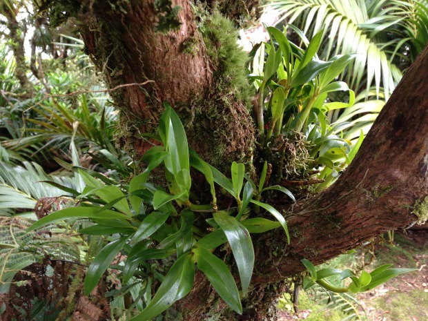 It is amazing to see ephiphytic orchids that have definitely definitely not be placed in the tree by man. How do they do it?!