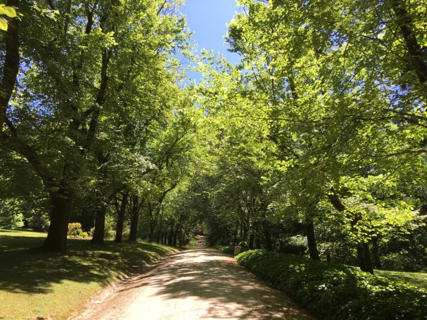 Beech trees of Duneira's driveway