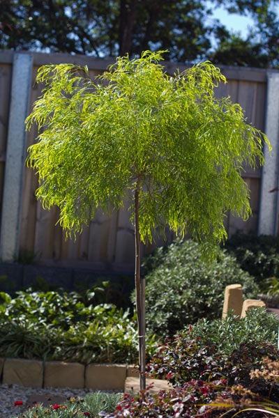 Acacia fettuccini standard