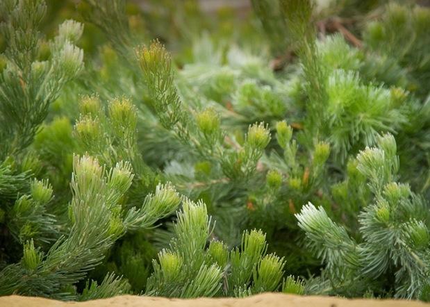 Adenanthos 'Silver Lining'