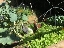 Lovely to see chooks wandering amongst the vegies; what a picture of the good life!