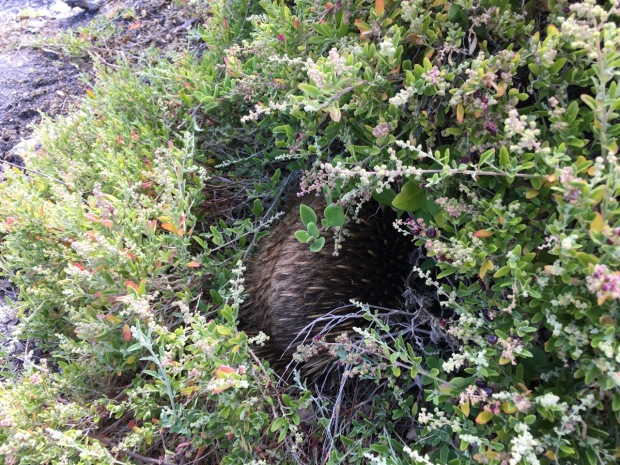An Echidna had made its home in a saltbush on the Bay of Fires