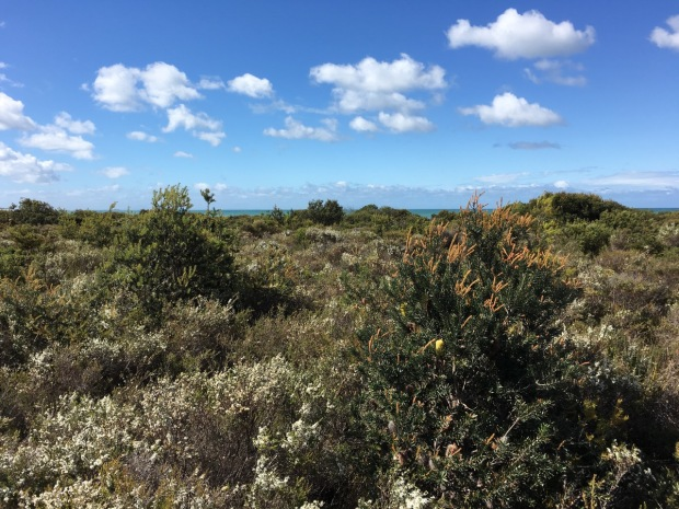 Banksia, Leptospermum and Acacia on the Bay of Fires dunes