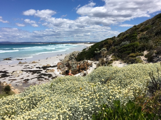 Leucophyta (cushion bush) at the Bay of Fires