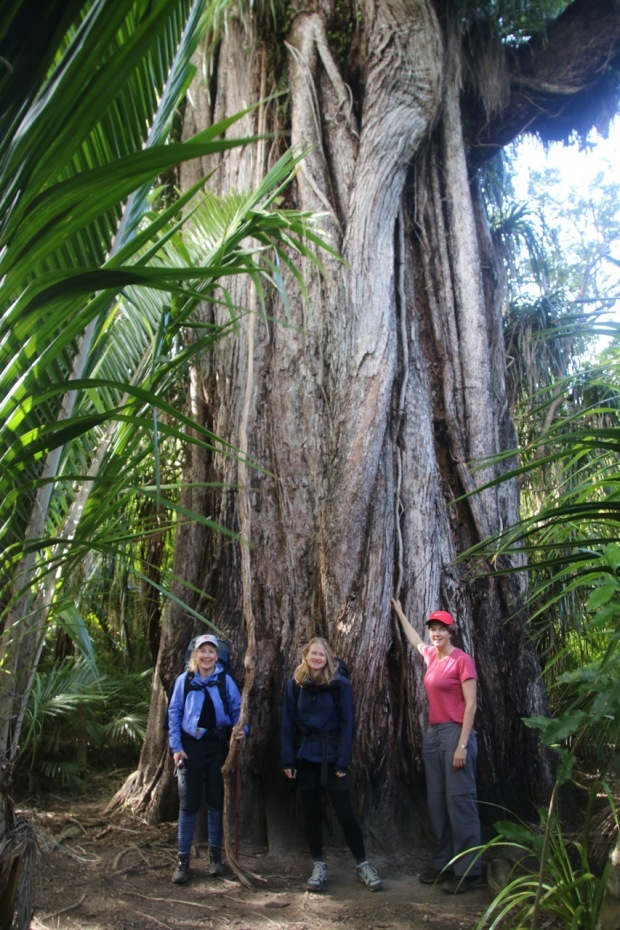 The amazing rata tree: it starts as a vine that climbs up the tree, which then is killed by the growing vine until the vine is so enormous it looks like this!