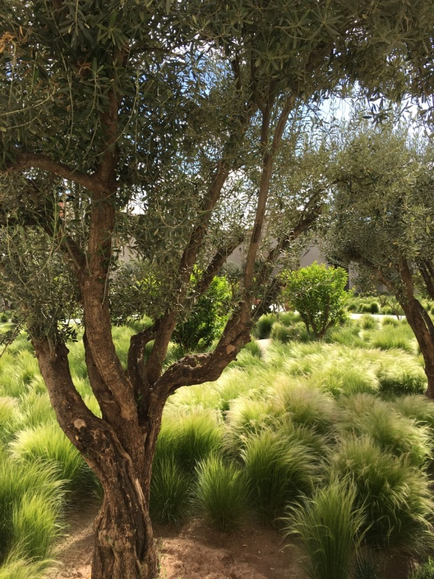 Mature olive trees add a dimension of longevity