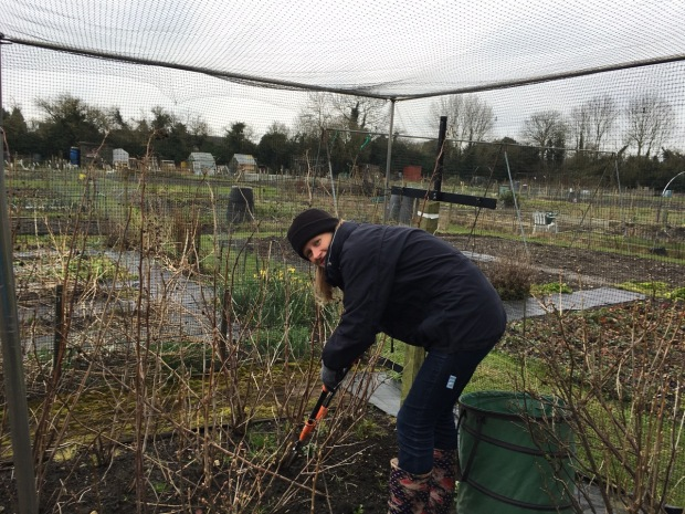 Pruning Mum's raspberries