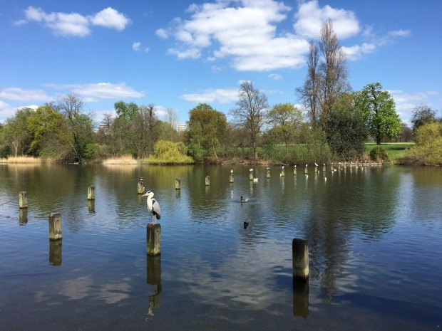 A grey heron watches over the ducks on the Serpentine