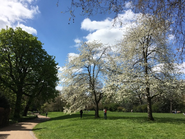 Elegant cherry blossoms adorn Hyde Park