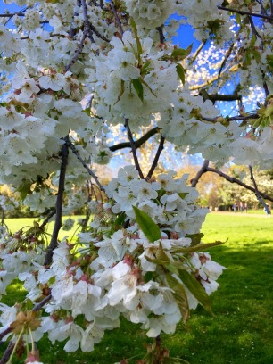 Gorgeous cherry blossom in Hyde Park; just thick with flowers