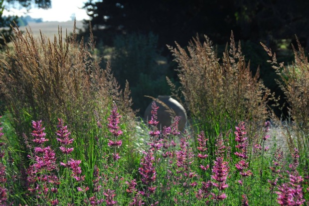 Simple and delightful. Agastache 'Sweet Lili' with Calamagrostis grasses. Photo: Michael McCoy