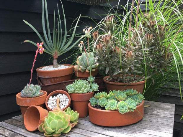 This collection of succulents (how we all love the Aloe plicatilis, top left!) are not only beautiful but thrive in Melbourne's climate