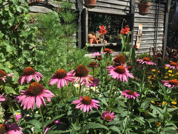 Who can resist Echinacea? Photo: Steven Wells