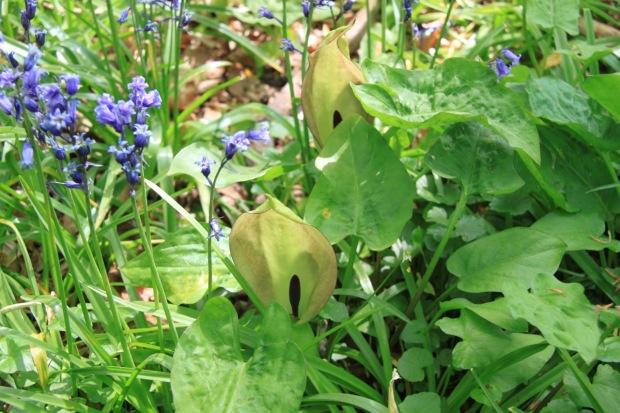 Arum flowers poking up between the bluebells