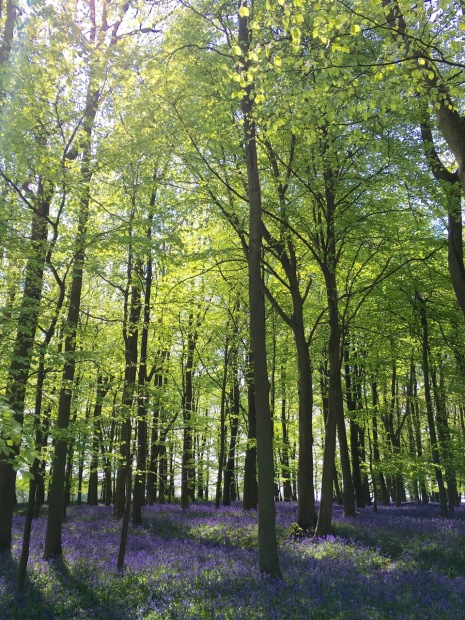 Beech trees and bluebells at Ashridge Estate