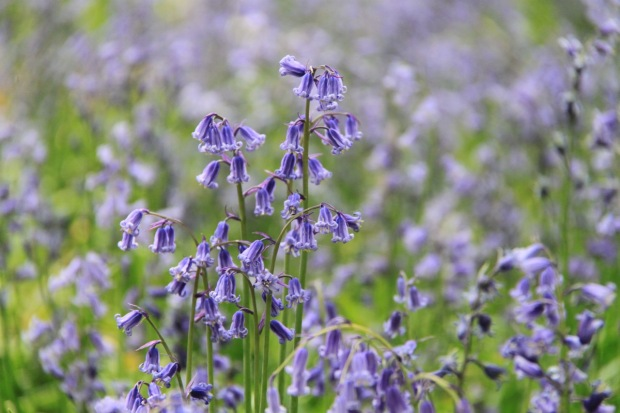 Bluebells at Ashridge