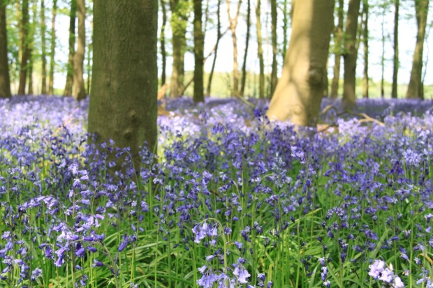 Carpets of bluebells at Ashridge Estate