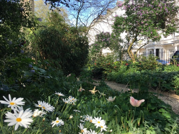 Daises and tulips, Camellia and Lilac set off against the ubiqitous Ceanothus at Eccleston Square
